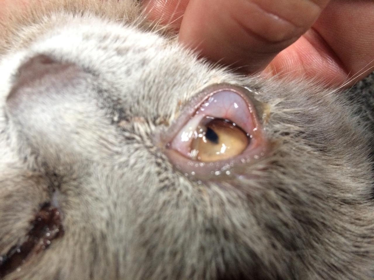 У кота порван глаз